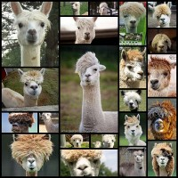 alpaca22