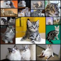 米国で人気の猫品種ベスト10を日本で人気猫品種と比較。