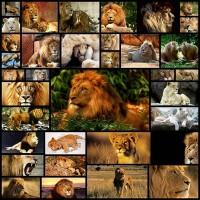 lion-wallpaper35