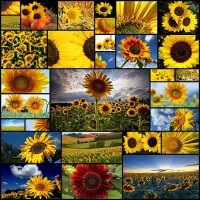 sunflower-wallpaper-desktop30