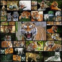 tiger-desktop-wallpaper35