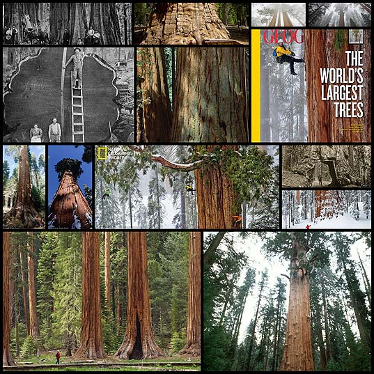 Giant-sequoia14