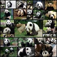 panda-wallpaper-for-desktop30