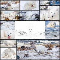 white_fox