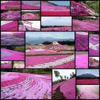 japans_pretty_pink_park_23_pics