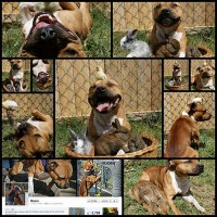 boom-pit-bull-photos13