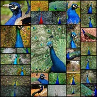 30-lovely-peacock-pictures-for-your-inspiration