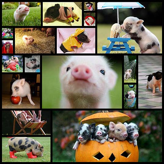 19-incredibly-cute-photos-of-mini-pig