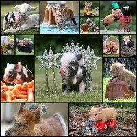 the-20-pictures-of-miniature-pigs-you-need-to-see-before-you