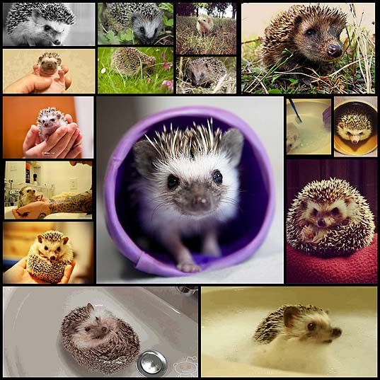 essential-facts-about-hedgehogs20