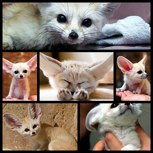 fennec-fox-probably-the-most-adorable-fox-on-the-earth6