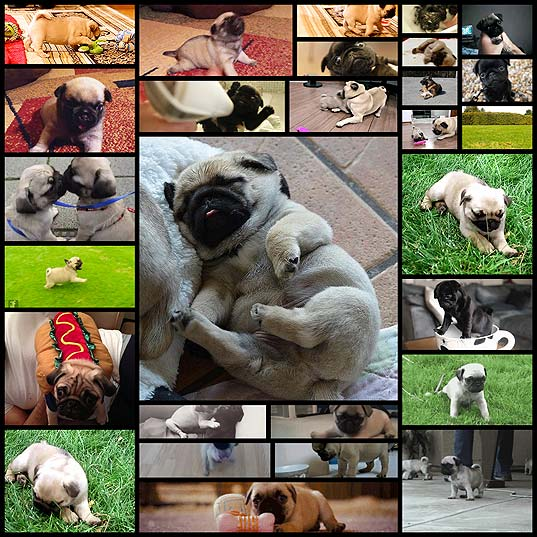 pug-puppies-that-should-be-illegal28