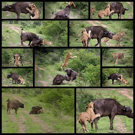 54056-lion-vs-buffalo-12-pics