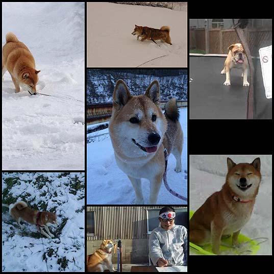 雪で大はしゃぎする柴犬が天使すぎワロタ7