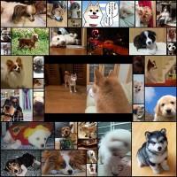 一番可愛い犬種が確定したのでここにお知らせします37