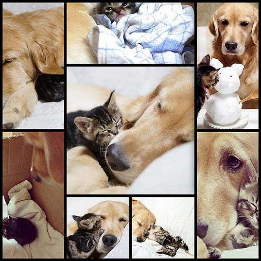 55410-golden-retriever-adopts-a-kitten-8-pics