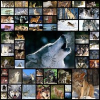 Wolf-Pictures55