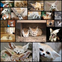 an-ode-to-the-fennec-fox-18-pics