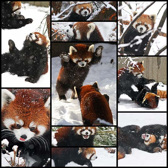 if-these-red-pandas-can-enjoy-the-snow-then-you-should-too10