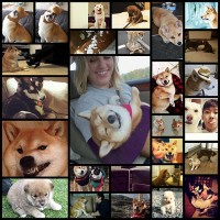 signs-you-are-a-shiba-inu27
