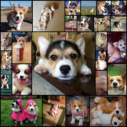 dont-be-sad-look-at-these-corgi-puppies25