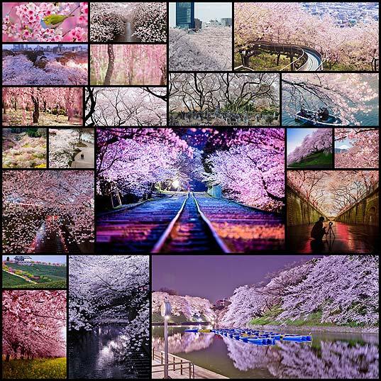 sakura-cherry-blossom-japan-2014