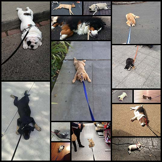 dogs-who-are-totally-over-this-whole-walking-thing15