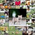 かわいい柴犬の写真(56枚)