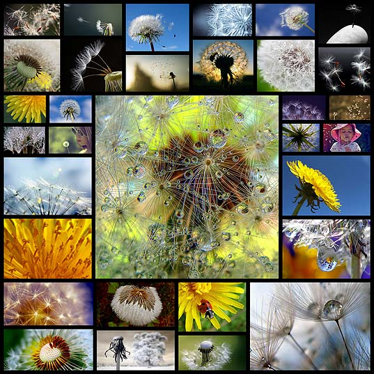 dandelion-whimsical-world-wide-weed32