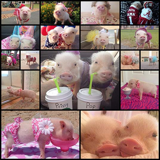 stop-what-youre-doing-and-follow-prissy-pig-and-her-brother-poppleton-on-instagram-17-photos