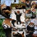ずるいくらい可愛いレッサーパンダの写真・動画(21枚)