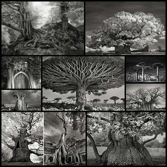 ancient-trees-beth-moon9