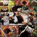 凶悪な可愛さをほこるレッサーパンダの写真(15枚+1動画)