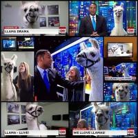 cnn-interviews-a-celebrity-llama-named-pierre-on-live-tv11