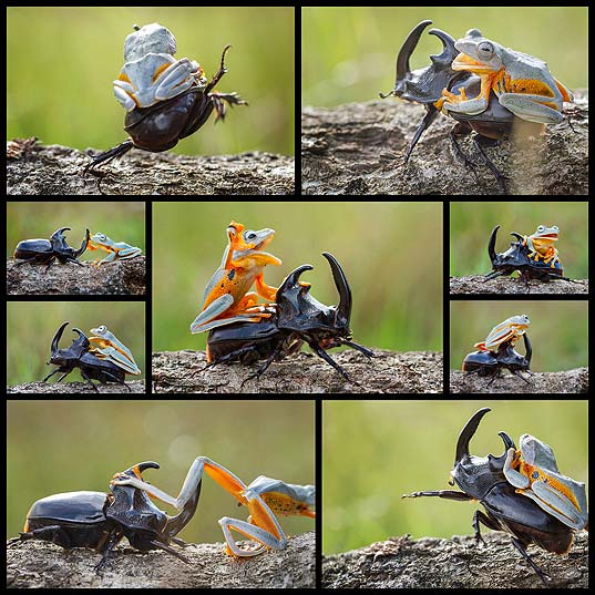 frog-riding-beetle-hendy-mp10