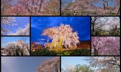 京都の桜名所11選