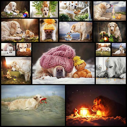 golden-retriever-mali-teddy-bear-gabi-stickler17