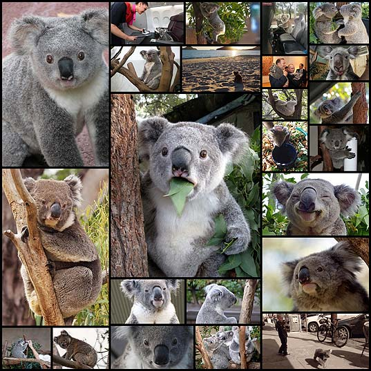 33-Times-Koalas-Proved-They're-Actually-Stoners