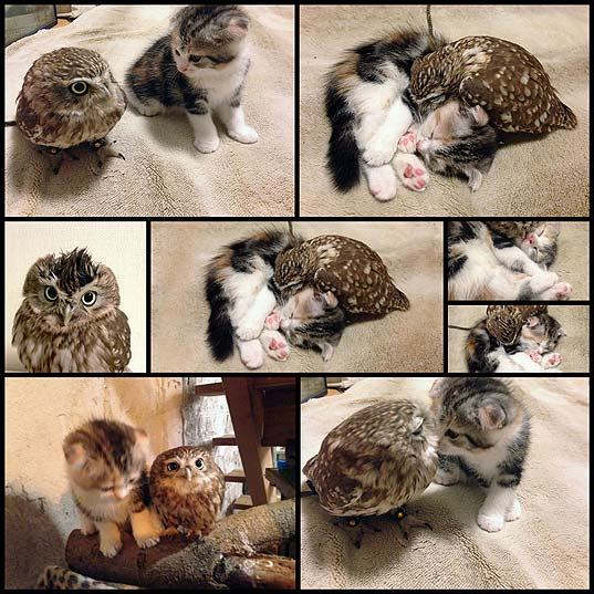Kitten-And-Owlet-Become-Best-Friends-And-Nap-Buddies--Bored-Panda