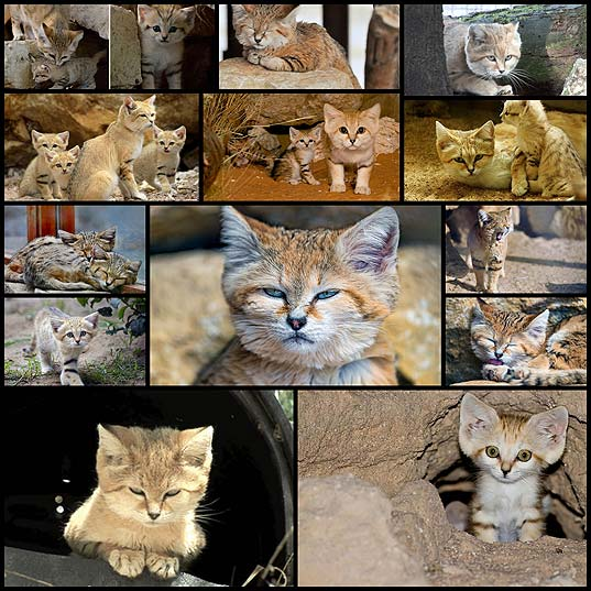 Sand-Cats-Where-The-Adults-Are-Kittens-And-The-Kittens-Are-Also-Kittens--Bored-Panda