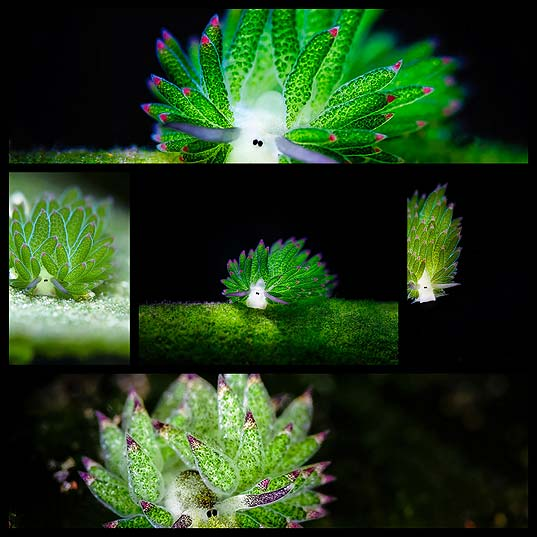 Sea-Sheep-This-Adorable-Sea-Slug-Eats-So-Much-Algae-It-Can-Photosynthesize---OddPad