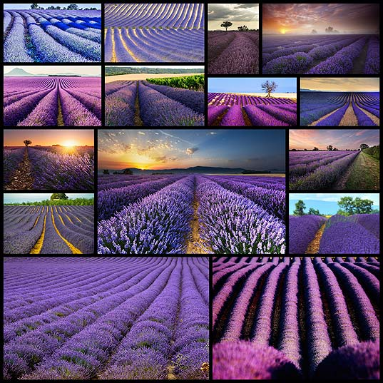 Stunning-Photos-Capture-the-Dreamy-Beauty-of-Rolling-Lavender-Fields---My-Modern-Met