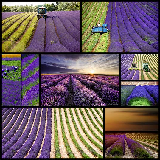 The-Hypnotizing-Beauty-Of-Harvesting-Lavender-(8-pics)--Bored-Panda