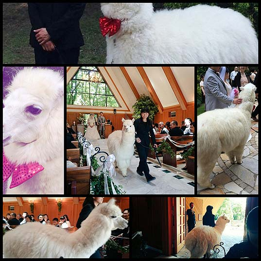 Unique-Wedding-Hall-In-Japan-Will-Lend-You-An-Alpaca-As-Your-Witness-On-Your-Big-Day
