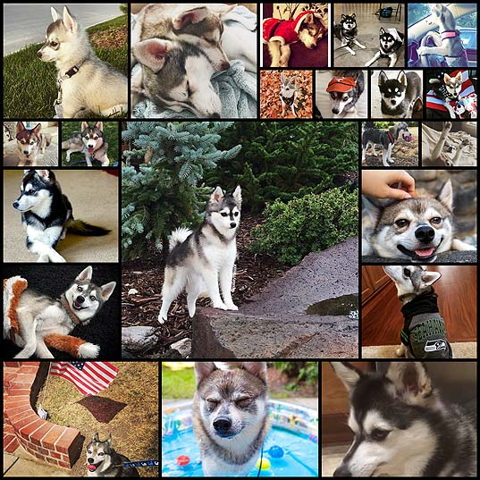 17-Reasons-Alaskan-Klee-Kai-Are-The-Absolute-Cutest