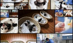Panda-Babies-Sleeping-In-Baskets-Make-Their-First-Public-Appearance-At-Chinese-Panda-Breeding-Center--Bored-Panda