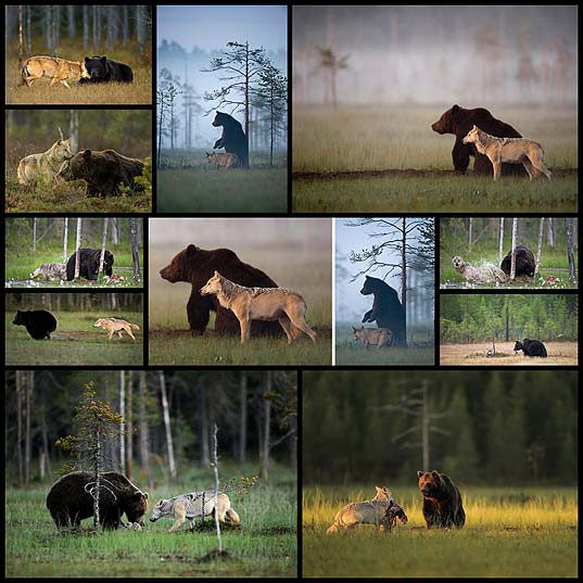 Unusual-Friendship-Between-Wolf-And-Bear-Documented-By-Finnish-Photographer--Bored-Panda