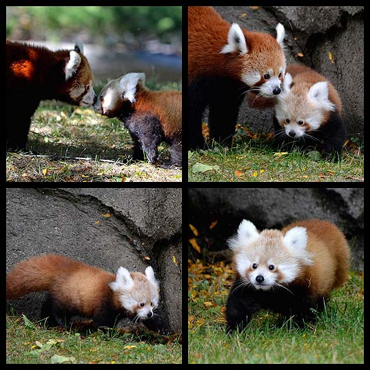 "Adorable-Red-Panda-Named-""Tofu""-Makes-Her-Public-Debut-at-Detroit-Zoo---My-Modern-Met"