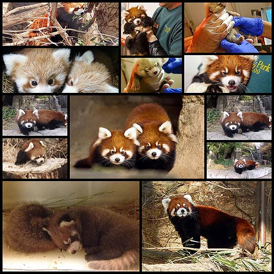 Adorable-Red-Panda-Cub-Siblings-Make-Public-Debut-At-Chicago-Zoo