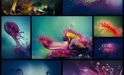 Amazing-Macro-Photos-of-Drosera,-the-Alien-Like-Plant--Design-Swan